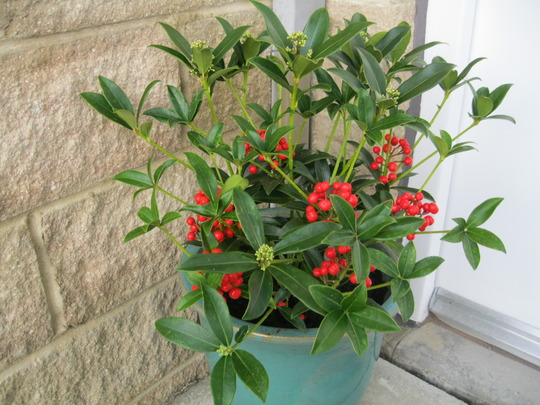 Skimmia Japonica..Red Diamond..