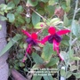 Fuchsia_lady_boothby_with_flowers_on_balcony_08_08_2014
