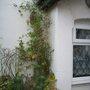 Fuchsia magellanica versicolour