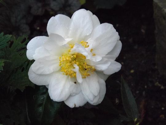 White Camellia in bloom October