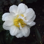 White Camellia in bloom October