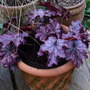 Heuchera 'Black Berry Jam' (Heuchera 'Black Berry Jam')