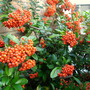 Pyracantha Berries (Pyracantha)