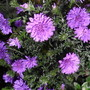Asters at last!