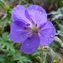 Geranium 'Brookside' (Geranium 'Brookside')
