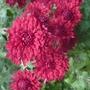 Chrysanthemum_ruby_mound_2014