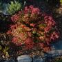Red Fall blooming Sedum