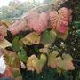 Vitis leaves (Vitis coignetiae (Crimson glory vine))