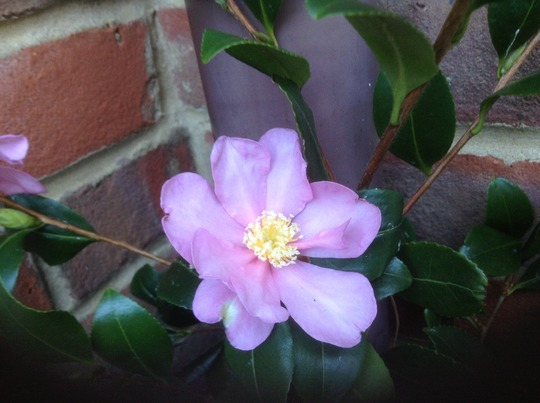 Camellia in Flower (Japonica Frame)