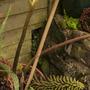 Gunnera flower (Gunnera manicata (Gunnera))