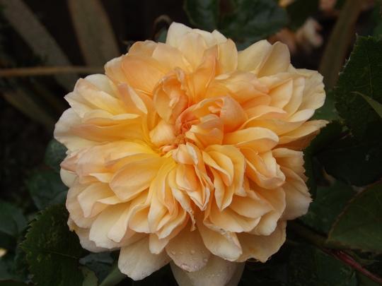Rosa Port Sunlight (Rosa)