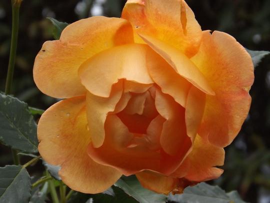 Rosa Lady of Shalott (Rosa)