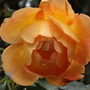Rosa Lady of Shalott (Rosa)
