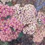 Achillea millefolium cultivar (Achillea millefolium red cultivar)