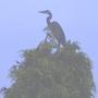 Heron on conifer