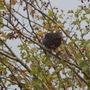 blackbird in Hawthorn