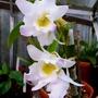 Orchid_dendrobium_nobile_14.10.2014