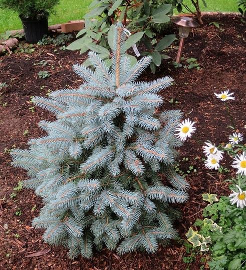 Picea pungens Baby blue (Picea pungens baby blue)