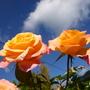 'Tis the last rose o~~f summer!