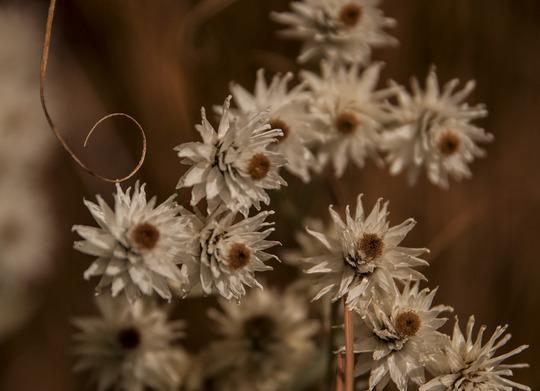 Anaphalis triplinervis (Anaphalis triplinervis)
