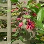 Fuchsia_lady_boothby_2014