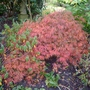Acer_palmatum_disectum_atropurpureum_autumn_colour_2014