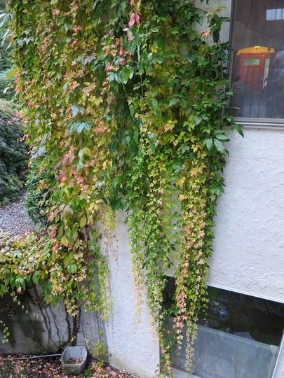 Natural curtains (Parthenocissus quinquefolia)