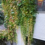 Natural curtains (Parthenocissus quinquefolia)