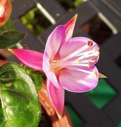 Fuchsia 'Bessie Girl'