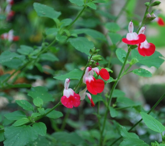 Salvia Hot Lips....... (Salvia Hot Lips.)
