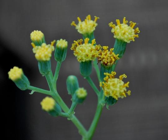 Succulent Flower.....Senecio Kleiniiformis (Senecio Kleiniiformis)