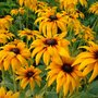 Susans (Rudbeckia fulgida (Black-eyed Susan))