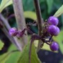 A few berries on my Callicarpa (Beauty Berry Bush) (Callicarpa bodinieri (Bodinier beautyberry))