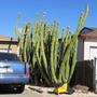 San Pedro cactus in Hayward..