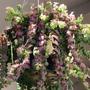 'Rasta' lipstick plant turning purple in summer.