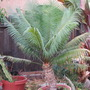 My Cycas circinalis.