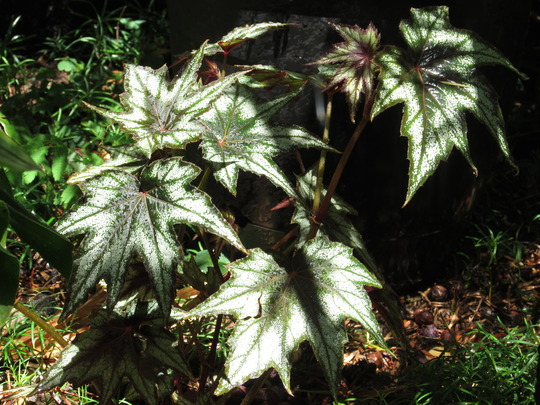 Little Brother Montgomery Begonia