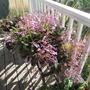 Chirita 'Chastity' on my porch. HAYWARD CA.