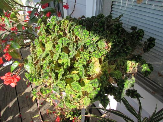 Eyelash Begonia.