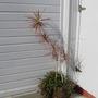 Tricolor, a former house plant. (Dracaena marginata (Dragon tree))