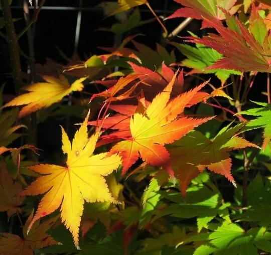 October leaves of Japanese maple Jordan full moon