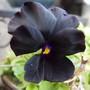 Viola 'Molly Sanderson' (Viola x williamsii (Viola))