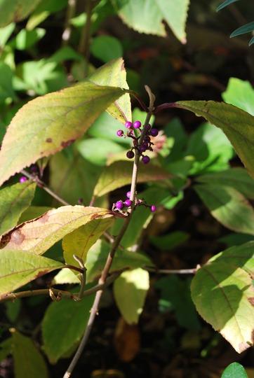 Callicarpa bodinieri var giraldii...Profusion. (Callicarpa bodinieri (Bodinier beautyberry))