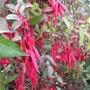 Variegated Fuchsia  (Fuchsia magellanica (Hardy fuchsia) variegata)