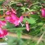 Tiny flowered of Fuchsia x bacillaris (Fuchsia X bacillaris)