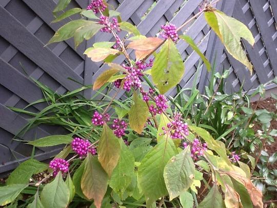 Plant of The Day....Callicarpa Bodinieri (Callicarpa bodinieri (Bodinier beautyberry))