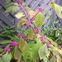 Plant of The Day....Callicarpa Bodinieri (Callicarpa bodinieri (Bodinier beautyberry))