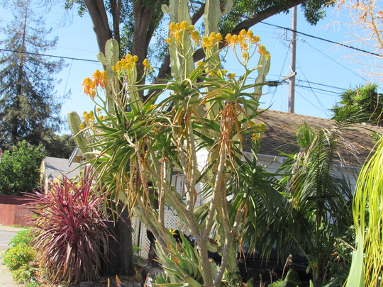 Aloe tongaensis in the front yard..