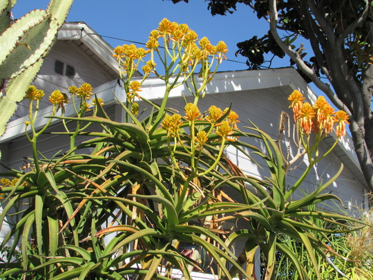 Aloe (Aloidendron) tongaensis on a sunny day.
