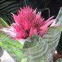 Silver vase in flower.. (Aechmea fasciata.)
